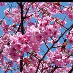 Pink Sakura nature