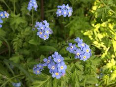 Our Forget Me Not Flowers in full bloom at the Mel Millis office.
