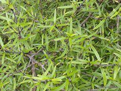 Taranaki Educational Resource: Research, Analysis and Information Network - Coprosma (Mikimiki) Coprosma linariifolia Tall Shrubs, Small Trees, Research, Banks, Education, Yellow, Wood, Search, Woodwind Instrument