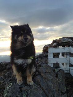 Finnish Lapphund on a windy mountain top in the midnight sun Baby Animals, Cute Animals, Funny Animals, Dog Breeds List, Alaskan Klee Kai, Mountain Photos, Midnight Sun, Scottish Fold, Wild Dogs
