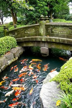 Japanese garden with koi