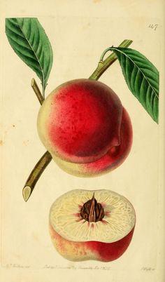 The Barrington Peach. The Pomological magazine v.3 London;J. Ridgway. Biodiversitylibrary. Biodivlibrary. BHL. Biodiversity Heritage Library
