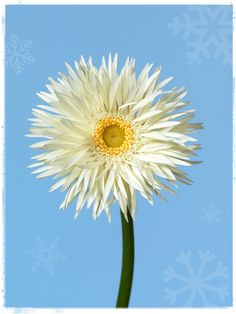 Gerbera Snowflake #AmericanGrown