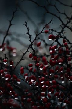 Raindrops and Roses: Photo Raindrops And Roses, Arte Obscura, White Aesthetic, Rain Drops, Aesthetic Wallpapers, Art Photography, Berries, Scenery, Photos