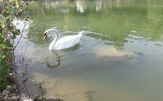 #beautiful #swan