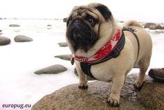 Gorgeous pug like a white polar bear standing on a rock.