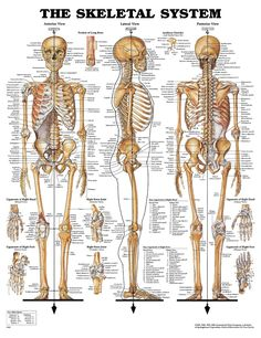 The skeletal system includes all of the bones and joints in the body. Description from skeletalsystemanatomy.blogspot.com. I searched for this on bing.com/images