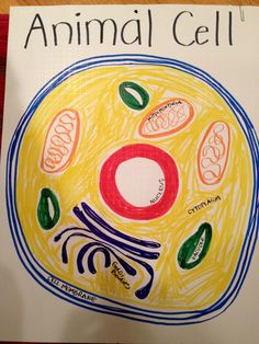 """Parts of an animal cell - hand drawn poster- can toss a bean bag or """"koosh"""" ball on it and name parts.  CC cycle 1 -week 3"""