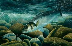 Welcome to the website of leading angling artist David Miller. Buy original oil paintings, limited and open edition prints directly from the artist or commission a special gift. David Miller, Marine Fish, Fish Print, Sea Fish, Bass Fishing, I Am Awesome, Illustration, Artist