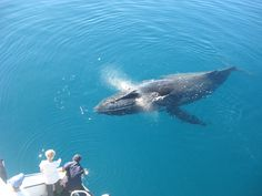 Brush up on your trivia with these fascinating facts to about humpback whales in Queensland inform your next marine wildlife adventure. Whale Watching Tours, Humpback Whale, Whales, Great Photos, Dolphins, Animals Beautiful, Underwater, Freedom, The Past