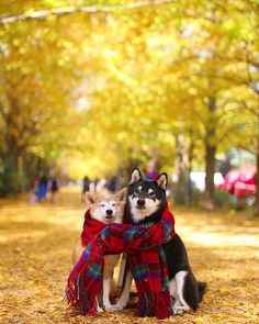 Autumn friends by nerishiro, as showcased on Tokyo Camera Club Animals And Pets, Baby Animals, Funny Animals, Cute Animals, Japanese Dog Breeds, Japanese Dogs, Cute Puppies, Cute Dogs, Dogs And Puppies