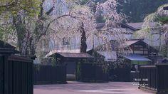 角館武家屋敷桝形のしだれ桜 壁紙