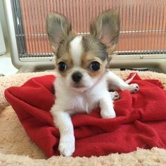 White Chihuahua, Cute Baby Puppies, Chihuahua Puppies For Sale, Puppies And Kitties, Cute Dogs, Doggies, Teacup Dog Breeds, Dog Toys, Toy Dogs