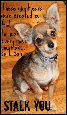 Chihuahua Quotes, Cute Chihuahua, Chihuahua Puppies, Dog Quotes, Cute Puppies, Cute Dogs, Dogs And Puppies, Chihuahuas, Deer Chihuahua