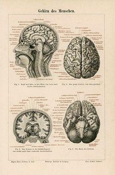 antique german anatomy print, brain, 1894