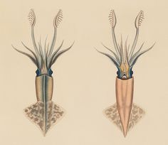 Onychoteuthis rutilus - Molluscs and Shells (1852-1856) by Augustus Addison Gould.