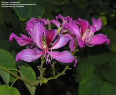 Picture of Hong Kong Orchid Tree (Bauhinia x blakeana)