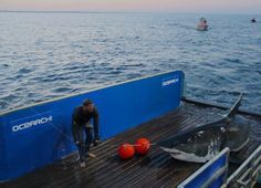 Mary Lee, the 16 foot long, 3,456 lb Great White Shark who visited New Hanover County,NC
