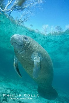 Smiling Manatee... I have always loved these... want to hug one.