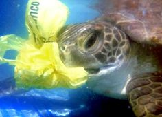 In marine environments, many animals confuse the plastic littering the oceans for food, including sea turtles. One in three leatherback sea turtles have plastic in their stomach, most often a plastic bag ...