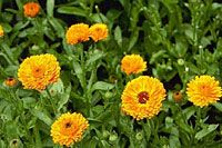 Calendula (Calendula officianalis) - can grow in all regions of North America. Annual. Lives just one year. Grows quickly, blooms heavily, dies with first frost. Can regrow following spring if seed falls on bare ground.
