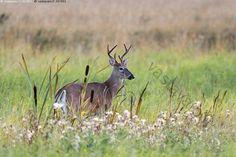 Peurapukki - peura valkohäntäpeura peurat laukonpeura valkohäntäkauris Odocoileus virginianus hirvieläin eläin ilta pelto