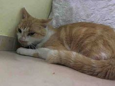 TO BE DESTROYED 9/15/14 ** Poor Baron is terrified in the shelter, and he needs out now. Please help to foster, adopt or pledge to help save his life tonight!! ** Manhattan Center  My name is BARON. My Animal ID # is A1013666. I am a male org tabby and white domestic sh mix. The shelter thinks I am about 5 YEARS old.  I came in the shelter as a STRAY on 09/10/2014 from NY 10458,