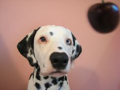 Dalmatian Puppy With 2 Different Colored Eyes:  Photo by romeo'smom