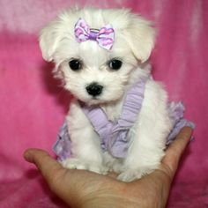 Teacup maltese puppies, Teacup maltese and Maltese puppies