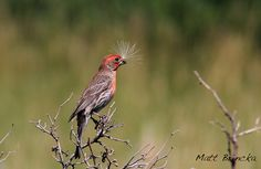 The Nerdy Naturalist: House Finch