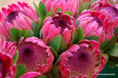 Protea - the botanical name and the English common name of a genus of South African flowering plants, really beautiful, sometimes also called sugarbushes. Protea Art, Flor Protea, Protea Flower, Protea Wedding, Wedding Flowers, Amazing Flowers, Beautiful Flowers, Beautiful Fruits, South African Flowers