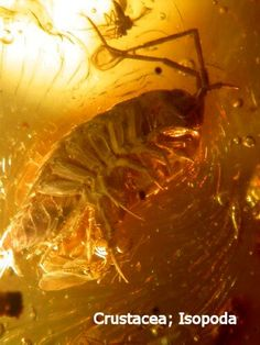Isopod Crustacea in fossil amber