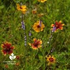 Wildflowers: lavender Texas vervain, Thelesperma, & Indian blanket in Austin, Texas