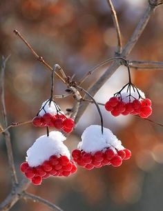White Snow and Red Berries