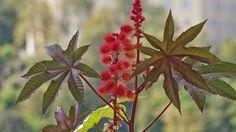 Der Wunderbaum gehört zu den giftigsten Gartenpflanzen. Foto:Imago/Imagebroker
