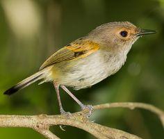 ferreirinho-de-cara-parda (Poecilotriccus latirostris) por Alexandre Ravaglia | Wiki Aves - A Enciclopédia das Aves do Brasil