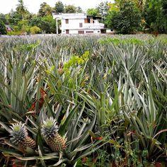 #miprimeravez en ver una #platacion de #piñas ... #piña #plantadepiña #plantaciondepiñas #pineapple #pinappleplant #pinappleplantation #kerala #angamali #angamaly #india