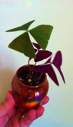 "Coming Soon this Spring! Oxalis Triangularis and Crimson Cross in 4"" ceramic cashpot."