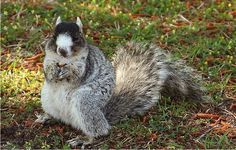 Shermans fox squirrel - rare breed