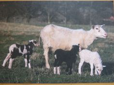 landrace sheep at the Nordic Ark Ark, Sheep, Goats, Lambs, Postcards, Animals, Animales, Animaux, Animal