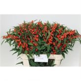 Euphorbia Orange! #Wholesale #Flowers #Seasonal #Euphorbia