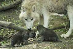 White Wolf : Arctic Wolf Pups Can Howl With The Best of Them (Photos- Video) Wolf Photos, Wolf Pictures, Schönbrunn Zoo, Baby Animals, Cute Animals, Arctic Wolf, Wolf Pup, Wolf Love, White Wolf
