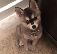 So cute! Alaskan klee kai puppy