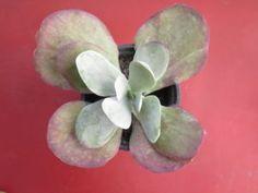 Kalanchoe Tyrsifolia - somanatureza.com.br