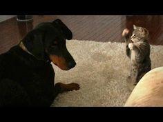 Ninja Kitten Shows a Lovely Doberman Who's Boss!