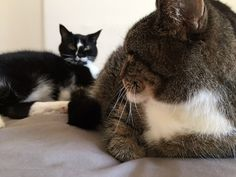Pet Fursday - the Golightly kitties describe their roles in helping blogger and author Penny Golightly - http://www.workfromhomewisdom.com/2015/04/30/pet-fursday-the-golightly-kitties/