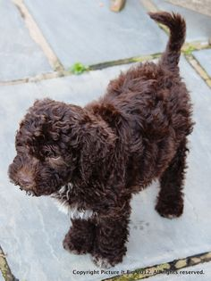 Ferb at about 8 weeks #lagotto