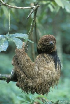 The Maned Three-toed Sloth (Bradypus torquatus) is restricted to the wet tropical forest on the Atlantic coast of Brazil. While it is generally not actively pursued, individuals might sometimes fall victim to subsistence hunting by local people.