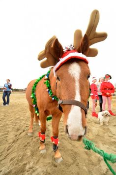 Dress your horse up as a reindeer for Halloween.