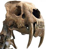 Saber-toothed cat skull